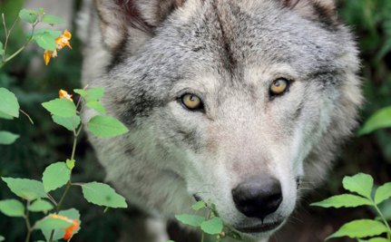 If Wolves Are Protected in France, Why Are They Being Hunted?