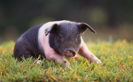 If You Needed an Organ Transplant, Would You Want One That Was Grown Inside of a Pig?