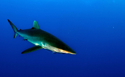 Judge Dismisses Challenge to California's Shark Finning Law