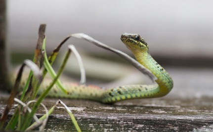 How Flying Snakes Could Inspire Better Wind Turbines