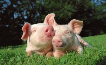 Daily Cute: Rescued Piglets Run Wild
