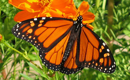 Monsanto and Other Ag Giants Are Wiping Out Monarchs