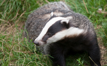 Success! Badger Culls in England Will Not Expand