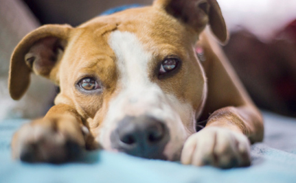 Victory! Maryland Overturns Dangerous Pit Bull Rule