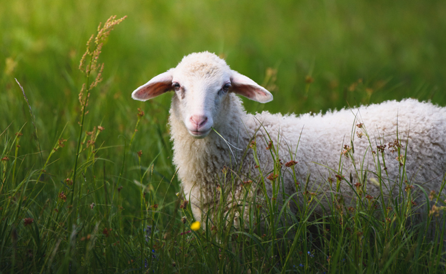 10 Things Most People Don't Know About Sheep