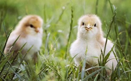 The True Cost of Eating Chicken: New Footage Shows Baby Chicks Being Boiled Alive