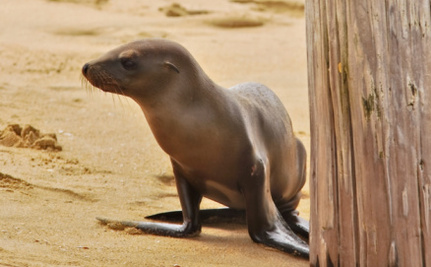 Ranch Hands Pitch in to Help a Confused, Lost Sea Lion Pup Named Hoppie