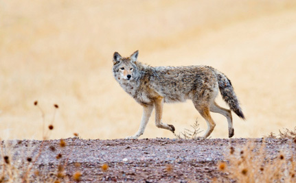 Is California Ready to Ban Wildlife Killing Contests For Good?