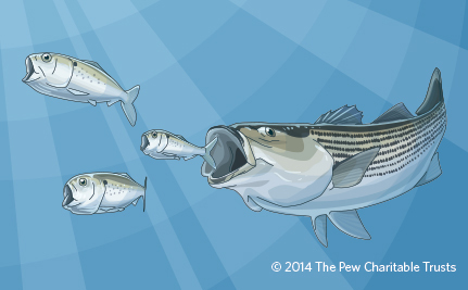 Protecting Forage Fish, the Little Heroes of Our Oceans