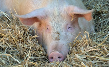 What's Killing Thousands of Pigs in China and the U.S.?