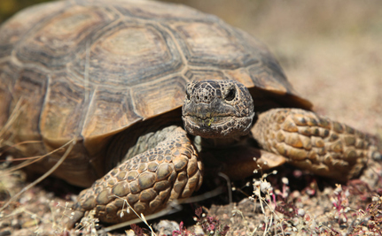 The Story of Cliven Bundy and the Fight to Save the Desert Tortoise