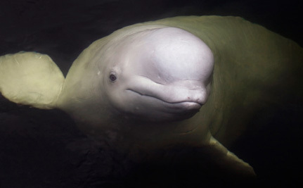 The Fight to Keep Belugas Out of the Georgia Aquarium Isn't Over