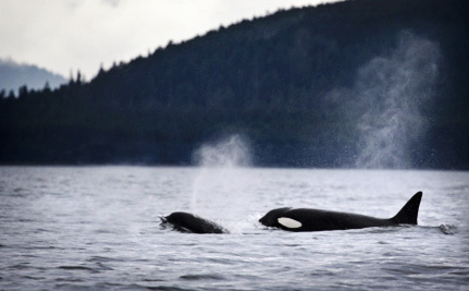 There's Good News for Puget Sound's Orcas, But They Still Need Our Help