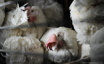 Should We Be Celebrating Enriched Cages For Chickens?