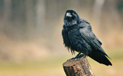 Idaho Needs to Stop Needlessly Poisoning Thousands of Ravens