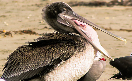 We're Not Sure Who Would Do This to a Pelican, But They Need to Be Caught Now