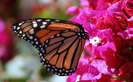 Use Your Summer Gardening to Help Butterflies and Bees