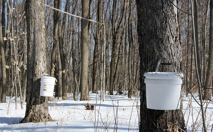 Another Climate Change Casualty: Maple Syrup