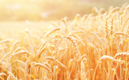 Why Grain Is Getting Less Nutritious