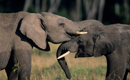 5 Ways Elephants Are Just Like Us