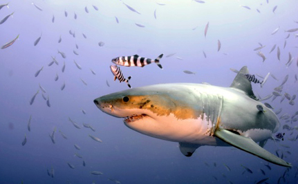 Western Australia's Cruel Shark Cull Ends With Too Many Innocent Casualties