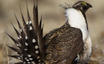 It Could Be Our Last Chance to Save the Greater Sage-Grouse and an Iconic Western Landscape