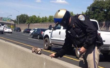 Internet Rejoices Over Tiny Chihuahua Rescued From Busy Highway Median