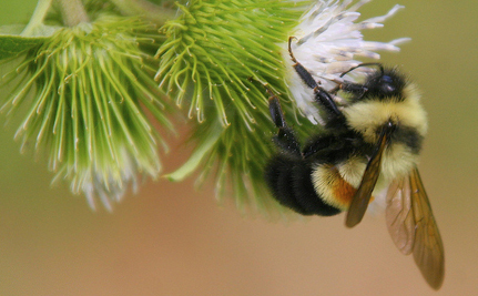 If We Put Bees on the Endangered List Now, Maybe We Won't Be Screwed Later