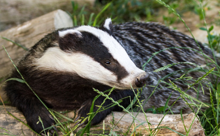 The Cull's Not Over: Is the UK Government Preparing to Gas Badgers Next?