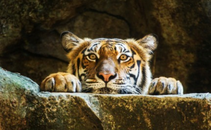 Yes, Tigers Are Dying, But Killing Stray Dogs Won't Help