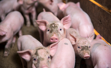 2,000 Pigs Die After Falling Into Their Own Waste Tank on Factory Farm