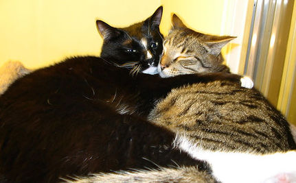 As It Turns Out, FIV Positive and Negative Cats Can Happily Live Together