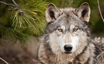 Oregon's Lone Wolf Has Pups as California Acts to Protect Species