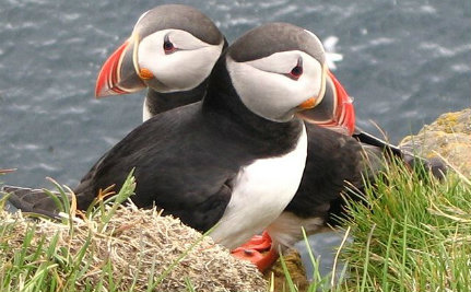 Climate Change is Killing the Puffins We Fought So Hard to Save