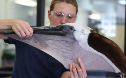 Pelican Whose Pouch Was Lacerated Is Released Into the Wild