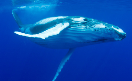 Japan Wants to Start Whaling Again: Here's Why They Can Legally Do It