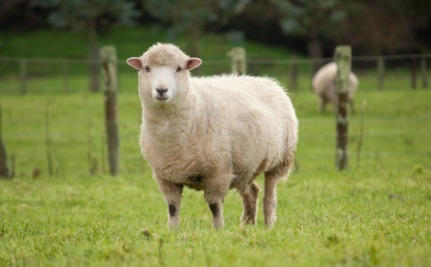 Injecting Pregnant Sheep With Alcohol Helps No One