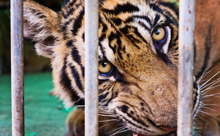 Last Chance to Speak Up for Tony the Truck Stop Tiger