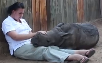 Orphaned Baby Rhino Finds Happiness With Sheep Mom