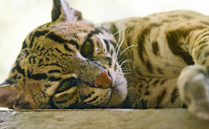 With Just 50 Left, Ocelots Are Getting Frighteningly Close to Extinction