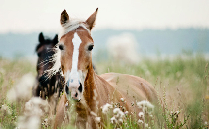 Do Wild Horses Need Endangered Species Protection?