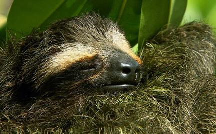 The World's Smallest Sloth is in Need of Protection