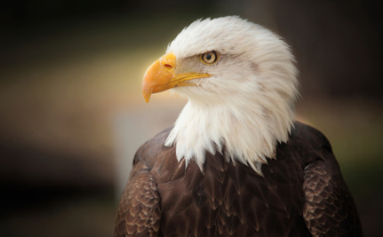 How Hunters Are Killing Bald Eagles Without Actually Hunting Them
