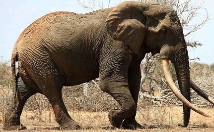 Hasil gambar untuk the oldest elephant in the world