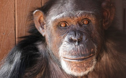 From Ghastly to Glowing: Jamie the Chimp Is Happily Adjusting to Life Outside the Lab