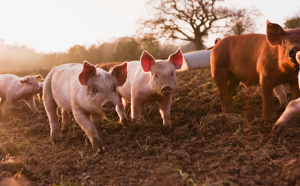 If Plastic Bags Are Causing Infertility in Pigs, What Are They Doing to Us?