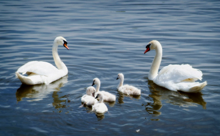 Mute Swan Parents Killed in New York, Despite Promise of Protection