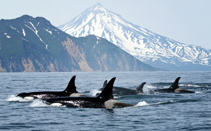 Even After a Decade of Protection, Puget Sound's Orcas Are Still Struggling