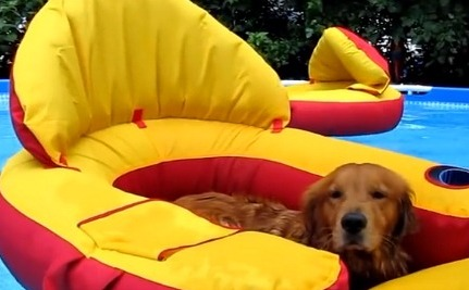 Daily Cute: Golden Retrievers Relax in the Pool