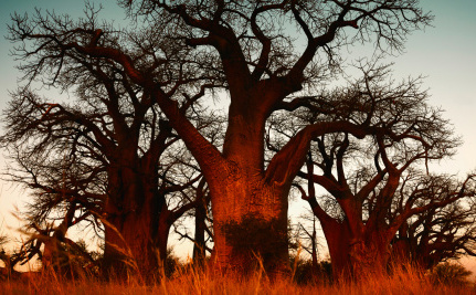 How Carbs Could Help Thirsty Trees Survive Droughts